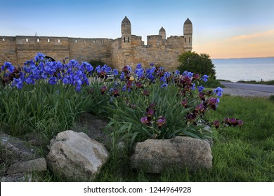 Blooming irises at the fortress Enikale in the Crimea in the evening light