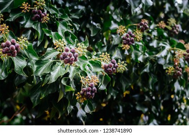 blooming Ivy ( Hedera helix )