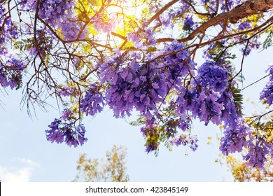 Blooming Jacaranda Tree in San Diego, California