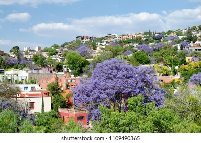 Blooming Jacaranda trees and residential neighborhood in San Miguel de Allende