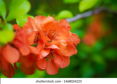 Blooming Japanese quince with bright flowers outdoors in spring day close up