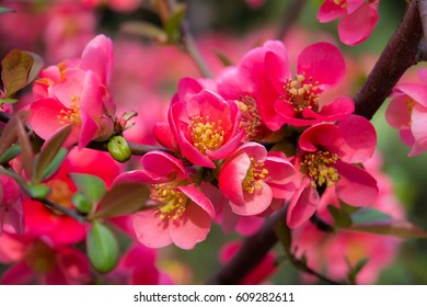 Blooming Japanese quinceChaenomeles (high classification malinae),Rosaceae, native to Japan, spring flowers background
