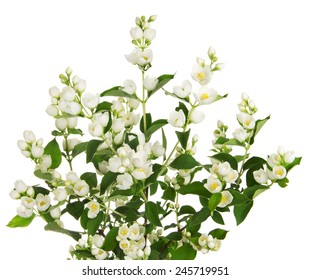 Blooming jasmine branch with flowers isolated on white background