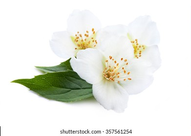 Blooming jasmine, blooming branch of jasmine on a white background