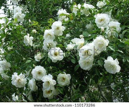 Blooming jasmine bush white flowers stock photo edit now 110173286 a blooming jasmine bush with white flowers mightylinksfo