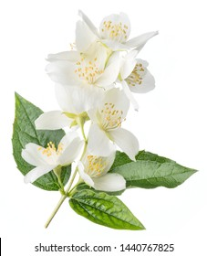 Blooming jasmine flower branch with jasmine leaves isolated on white background.