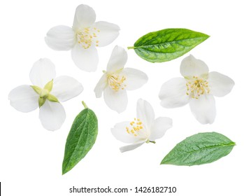 Blooming jasmine flower with jasmine leaves isolated on white background. Clipping path.
