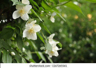 Blooming jasmine flowers on the bush with a blurred background.