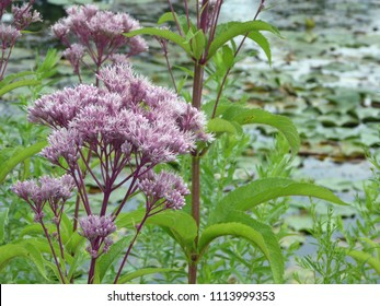 Blooming Joe Pye Weed near pond in during summer in Wisconsin