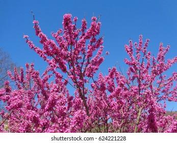 Blooming judas tree against blue sky