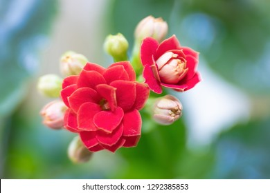Blooming Kalanchoe flower. ?loseup with selective focus. Floral background.