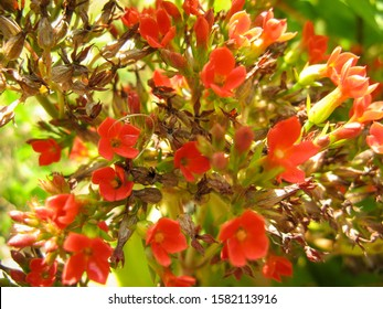 Blooming Kalanchoe or Widow's-thrill red Flower. Other names of the plant are flaming Katy, Christmas kalanchoe, florist kalanchoe or Madagascar widow's-thrill, lat. Kalanchoe blossfeldiana.