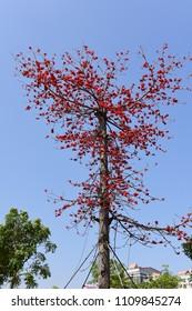 Blooming Kapok image