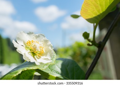 Kiwi Flower Images Stock Photos Vectors Shutterstock
