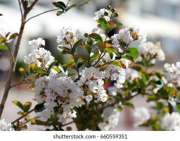 Blooming Lagerstroemia indica