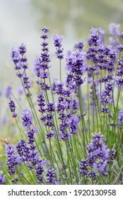 blühende Lavendelblüten im Garten, nebiger Hintergrund und selektiver Fokus