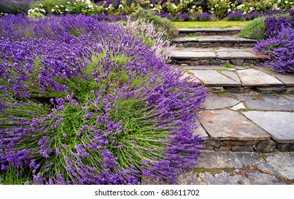 Blooming lavender bushes border stone steps in a beautiful flower garden