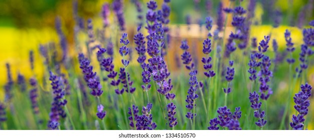 Blooming lavender in the countryside garden in the evening. Web banner for your design. Ukraine. Europe.