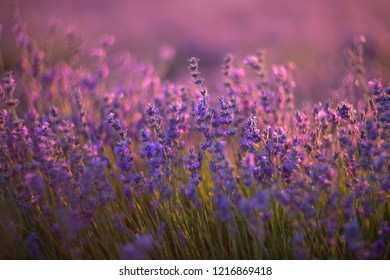 Blooming lavender in a field close-up, in the summer in the rays of the sun at sunset. Selective focus, shallow depth of field. Backlight