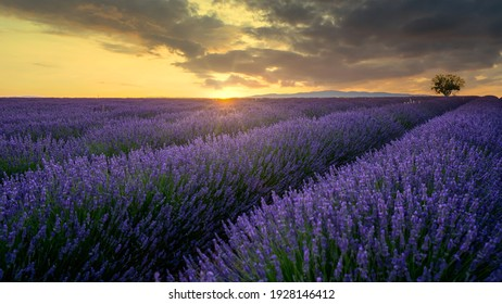 blooming lavender field in the evening light