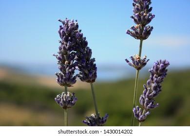 Blooming lavender in the field. Lavender flowers.