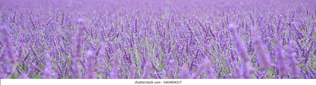 Blooming lavender field in Provence, Luberon region. France