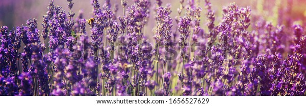 Blooming lavender field. Summer flowers. Selective focus nature