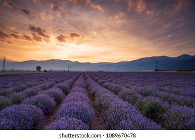 Blooming lavender in a field at sunset in Bulgaria.