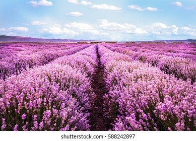 Blooming lavender field under the clear summer sky.
