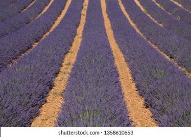Blooming lavender fields at peak on Plateau de Valensole, Alpes-de-Haute-Provence, Provence, France