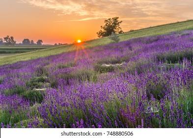 Blooming lavender fields in Poland, beautiful sunrise