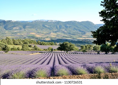 Blooming lavender fields , with a rocky soil, meadows, fields and forests. The Mont Ventoux is in the background. Provence in France.