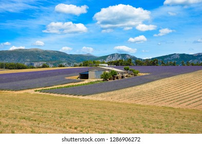 Blooming lavender fields in Valensole, Provence Alpes Cote d Azur, France, agricultural farm in the middle, french alps  on horizon, blue sky, clouds, sunny