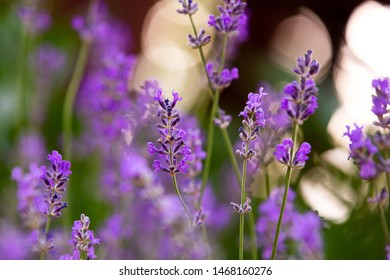 Blooming lavender. Flowers in backlight. Medicinal plant. Bokeh in the background. Summer mood. Sunset