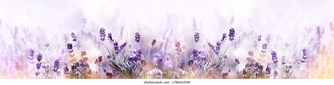 Blooming Lavender flowers field panoramic view for summer background, banner. Soft selective focus.