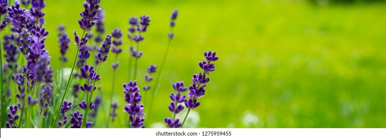 Blooming lavender flowers on green grass background on a sunny day. Web banner. Summer season in the countryside.