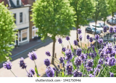 Blooming lavender or lavandula with a bee on a balcony in a typical dutch city with a canal and parked cars. Urban gardening concept.