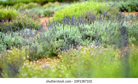 Blooming lavender plants at the Alii Kula Lavender Farm on Maui, Hawaii, USA