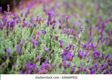 Blooming lavender plants at the Alii Kula Lavender Farm on Maui, Hawaii