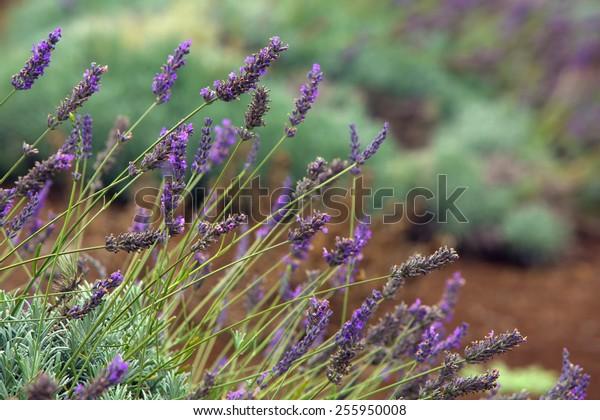 Blooming lavender plants on Maui Hillside in Hawaii