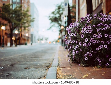 Blooming light purple flowers adorn the brick sidewalk during the spring in Syracuse, New York.