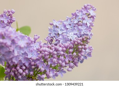 Blooming lilac branch in springtime. Lilacs flowers Spring on beige background. Blooming syringa lilac branch flowers. Nature wallpaper blurry background. Image does not focus.