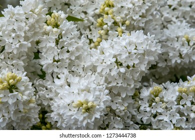 Blooming lilac bush in spring time. Blossoming lilac flowers. Flowering lilac bush in Latvia. Blooming white lilac flowers in spring season.