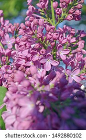 Blooming  lilac flowers. Beautiful lilac background. Spring lilac violet flowers. Beautiful lilac flowers close-up.