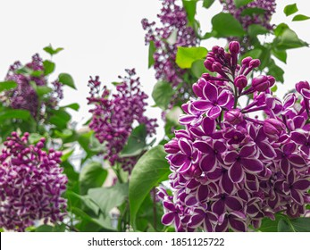 Blooming lilac. Spring purple lilac flowers on white background. Copy space for text. Hungarian lilac variety. Syringa vulgaris Sensation