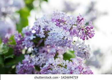 blooming lilac in the spring season. Purple Serenus with sunshine. Close-up.