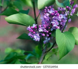 Blooming lilac in the spring time