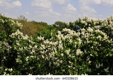 Blooming lilac trees, white  lilacs