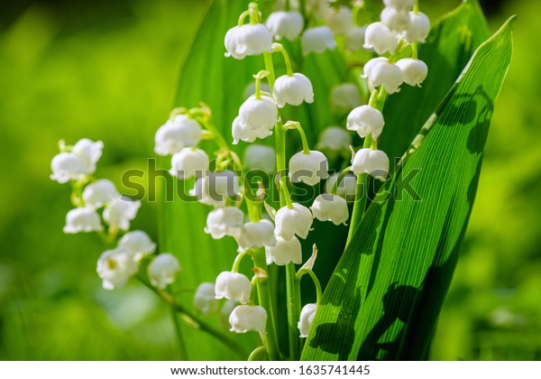 Blooming lily of the valley flowers on a background of green grass with place for copy text. Flower Spring Lily of the valley Background Horizontal Close-up Macro shot. Close-up of lily of the valley.