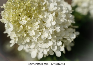 Blooming limelight hydrangea plant. Flowering plant.